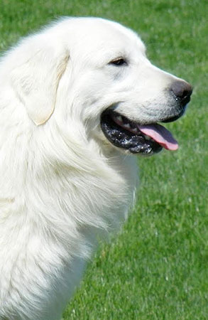 Eglish Cream golden retriever adult