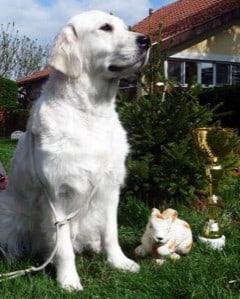 English Cream Golden Retriever dog in grass