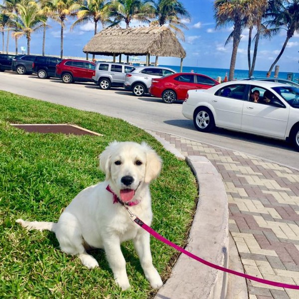 Click to enlarge: english cream puppy at the beach