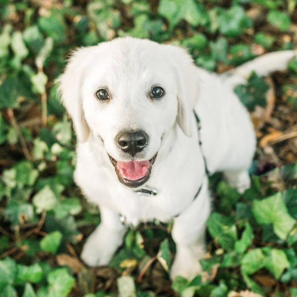 Click to enlarge: White Golden Retriever Puppy in ivy