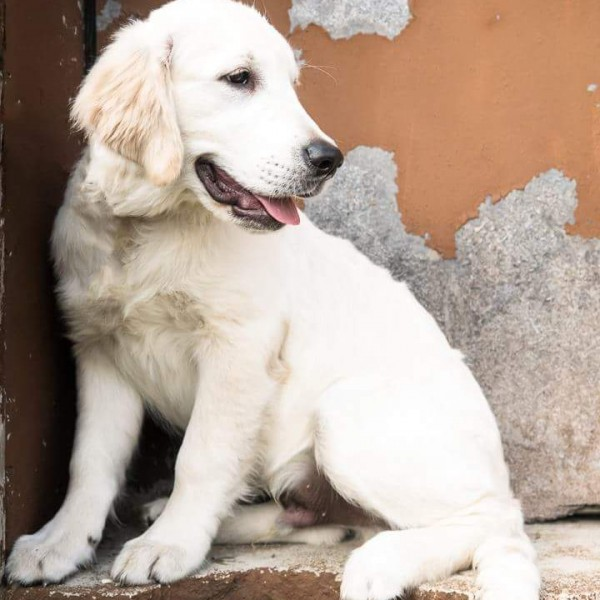 Click to enlarge: English cream golden retriever puppy in front of wall