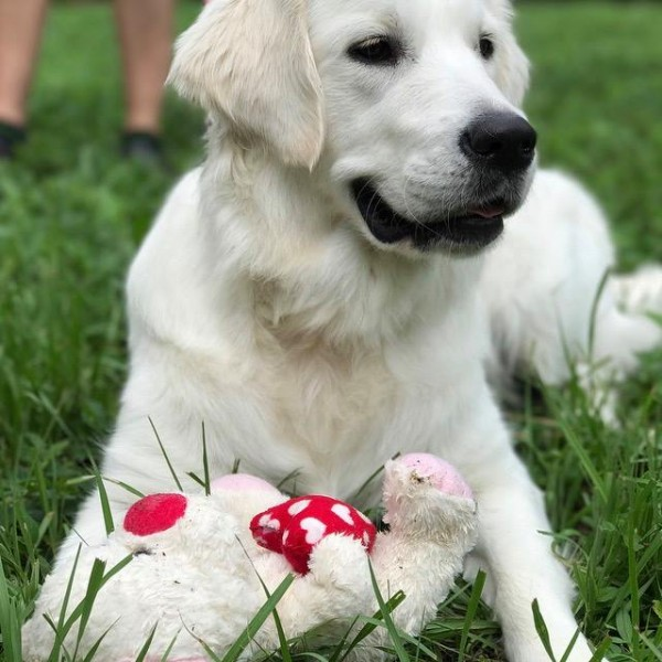 Click to enlarge: European golden retriever in grass