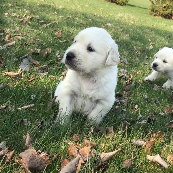 Click to enlarge: white puppy in grass