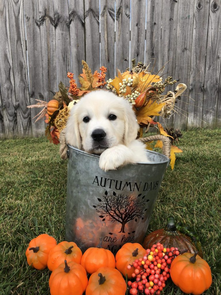 English Cream Puppy in bucket with pumpkins