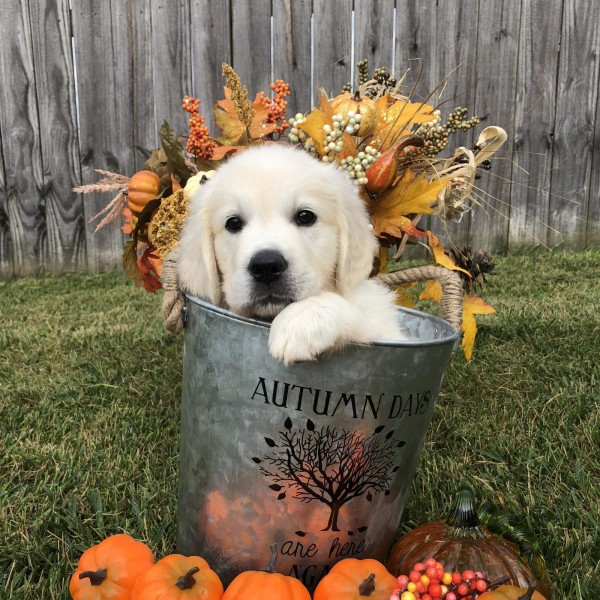 Click to enlarge: English Cream Puppy in bucket with pumpkins