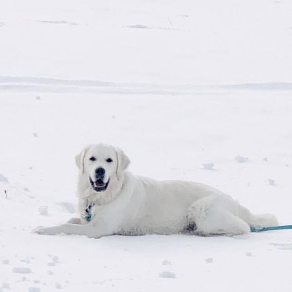 Click to enlarge: White golden retriever in snow