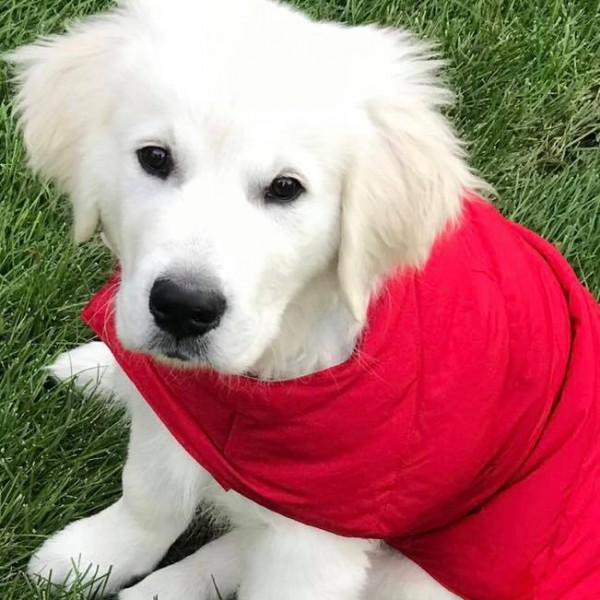Click to enlarge: White Golden Retriever puppy with red cape