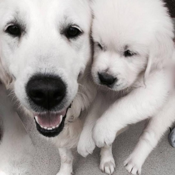 Click to enlarge: Mother white English golden retriever playing with pup