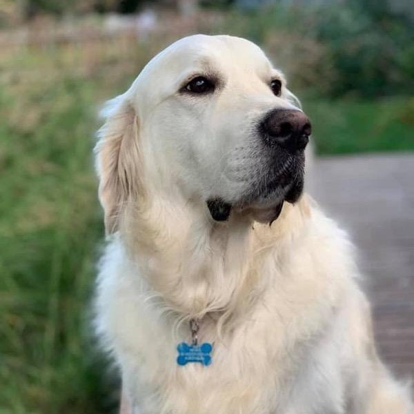 Click to enlarge: Beautiful English Cream Golden Retriever with boxy head