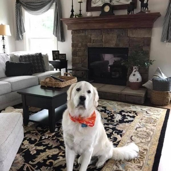 Click to enlarge: English Cream Golden Retriever with bandanna in living room