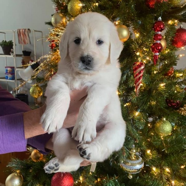 Click to enlarge: Puppy in front of Christmas tree