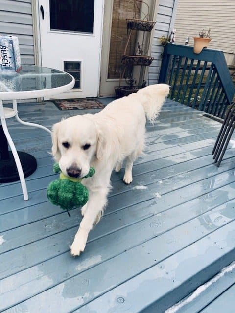 English Cream Golden holding a toy