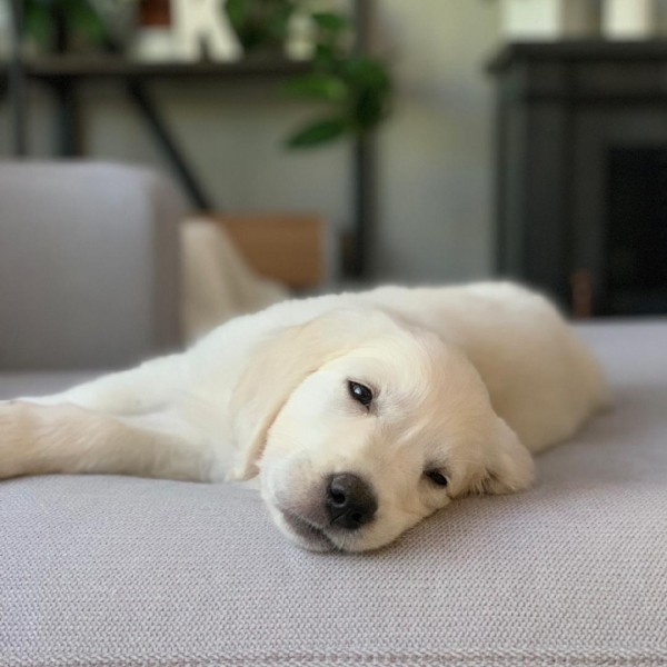 Click to enlarge: White Golden Puppy lying on bed